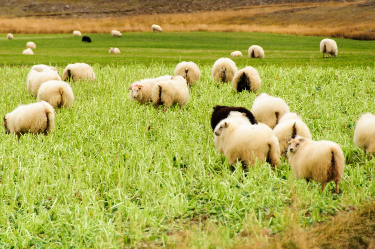 Islandzkie owce