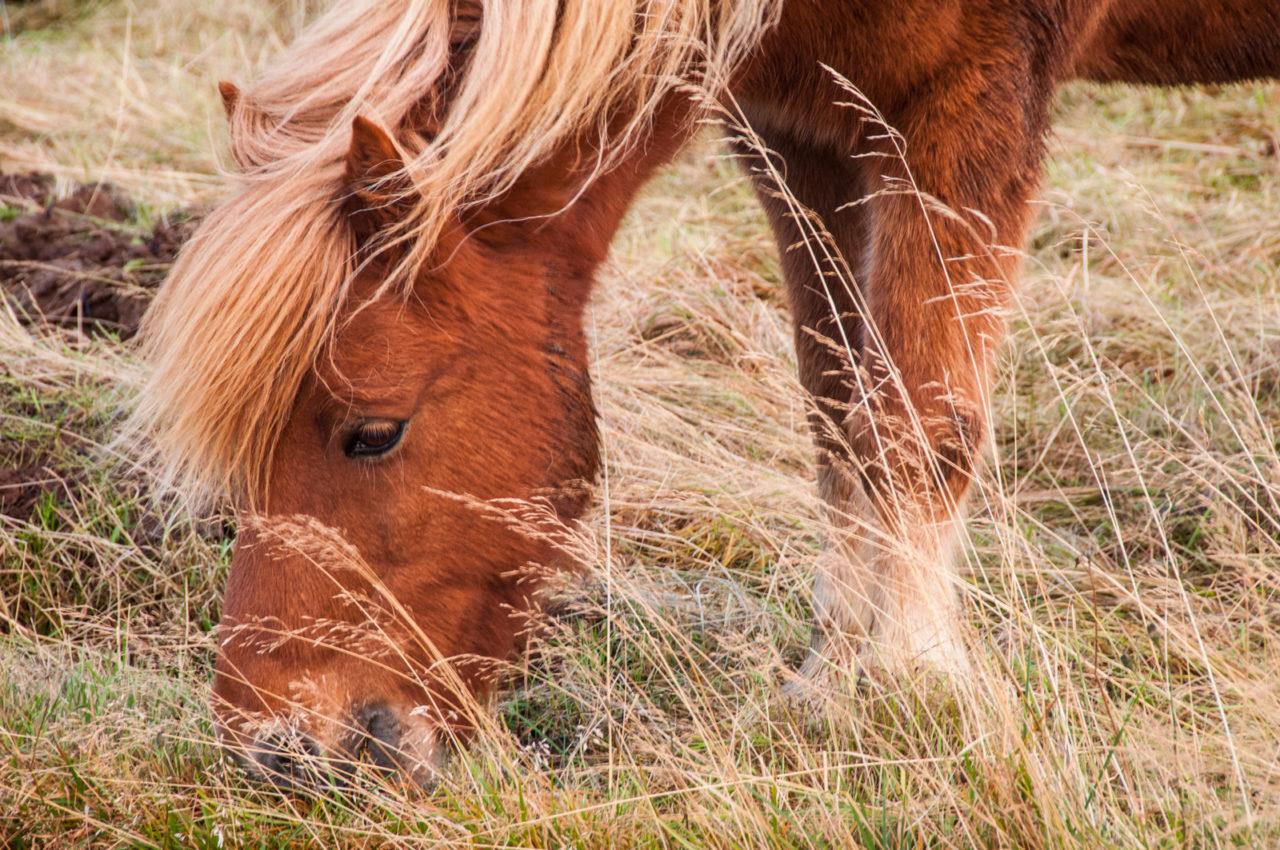 Kuc islandzki co koniem chciał zostać