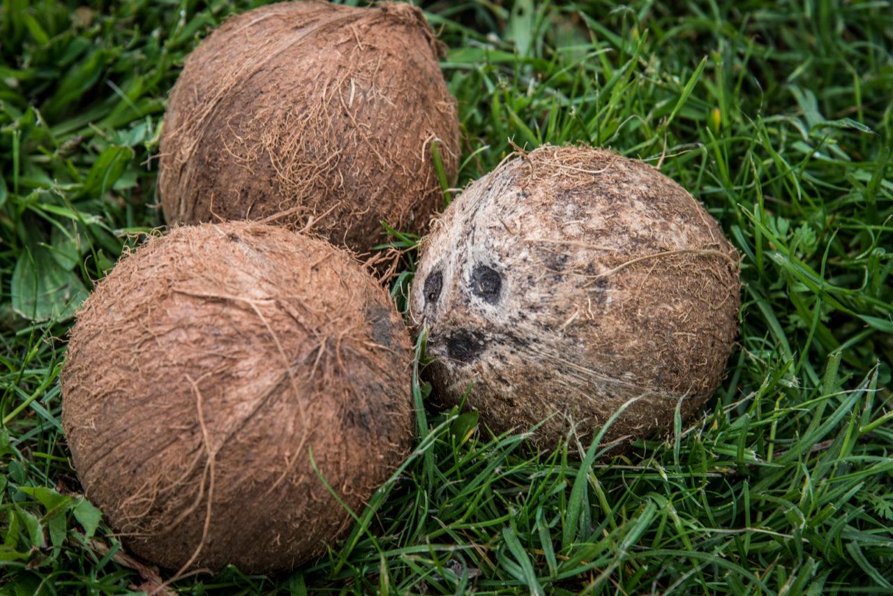 Nalewka kokosowa